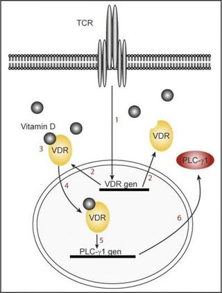 Vitamin D T cells