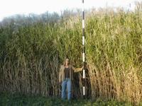 Switchgrasscrop_2